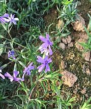 오킹톤블루아이 꽃잔디(포트)